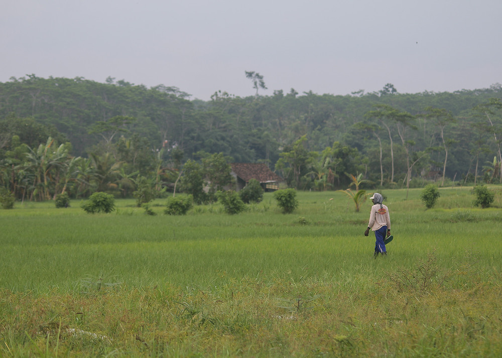 Paddy field habitat in south-coast of Lumajang