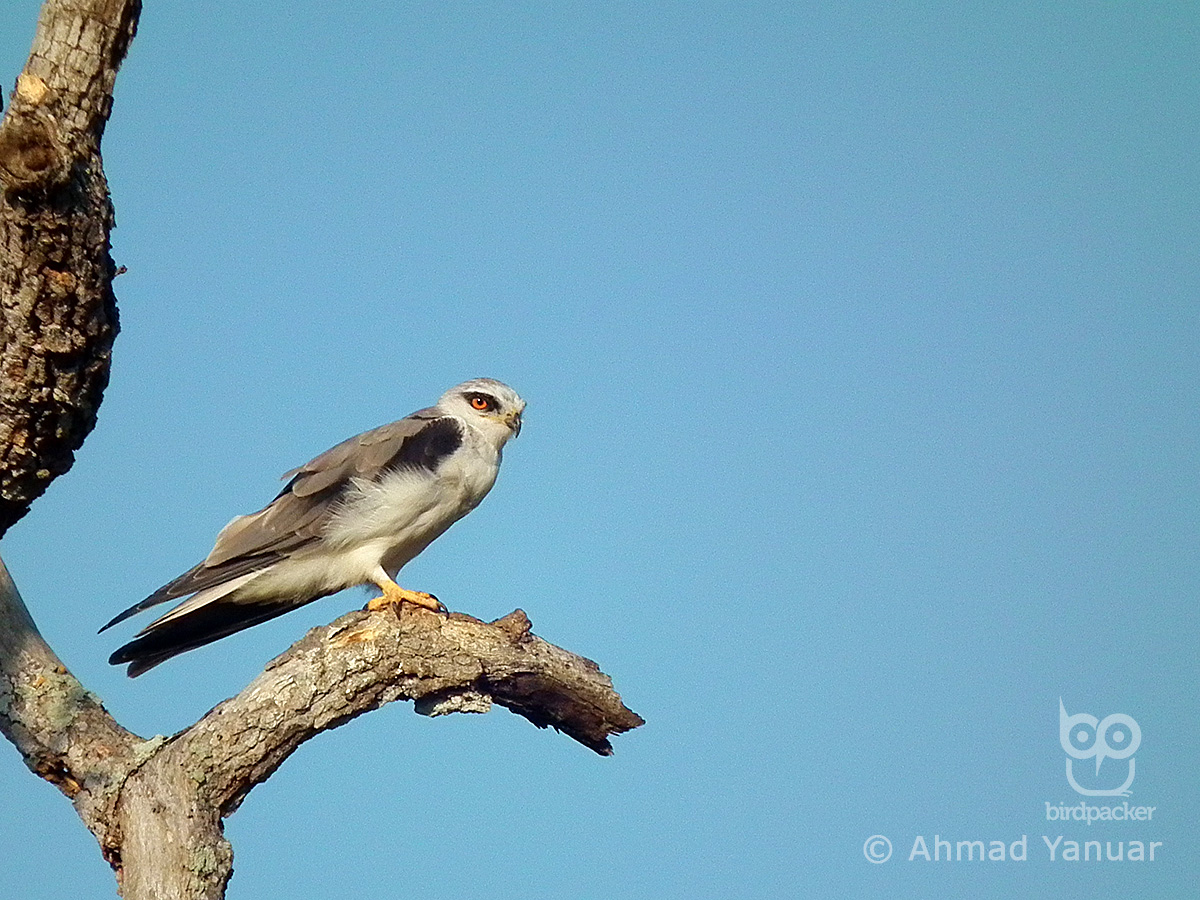Black-winged Kite-Elanus caeruleus