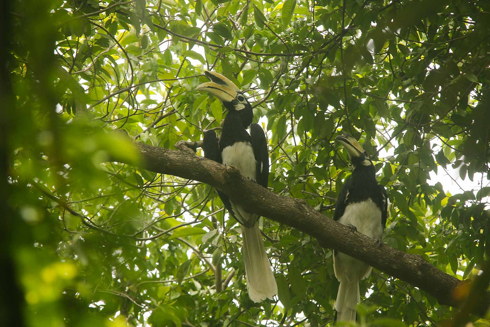 Delightful view of pair Oriental-pied Hornbill