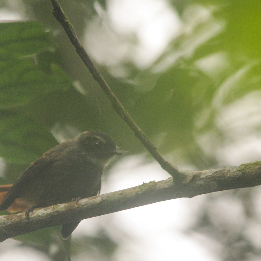Rufous-tailed Fantail