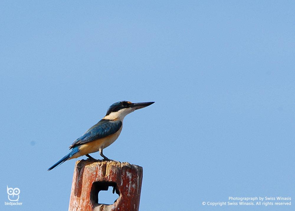 Regular kingfisher visitor, Sacred Kingfisher