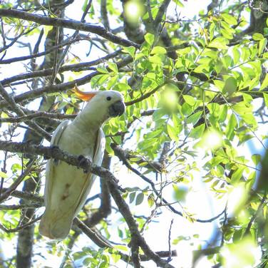 Yellow-crested 'Citron' Cockatoo_Cacatua sulphurea.jpg