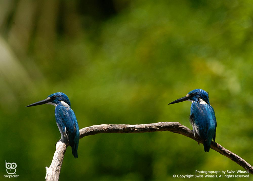 The endemic Cerulean or Small-blue Kingfisher