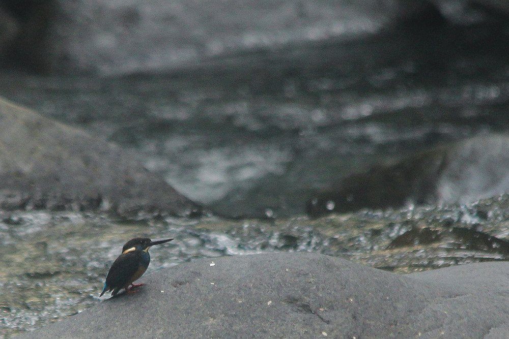 A adult female Javan Blue-banded Kingfisher