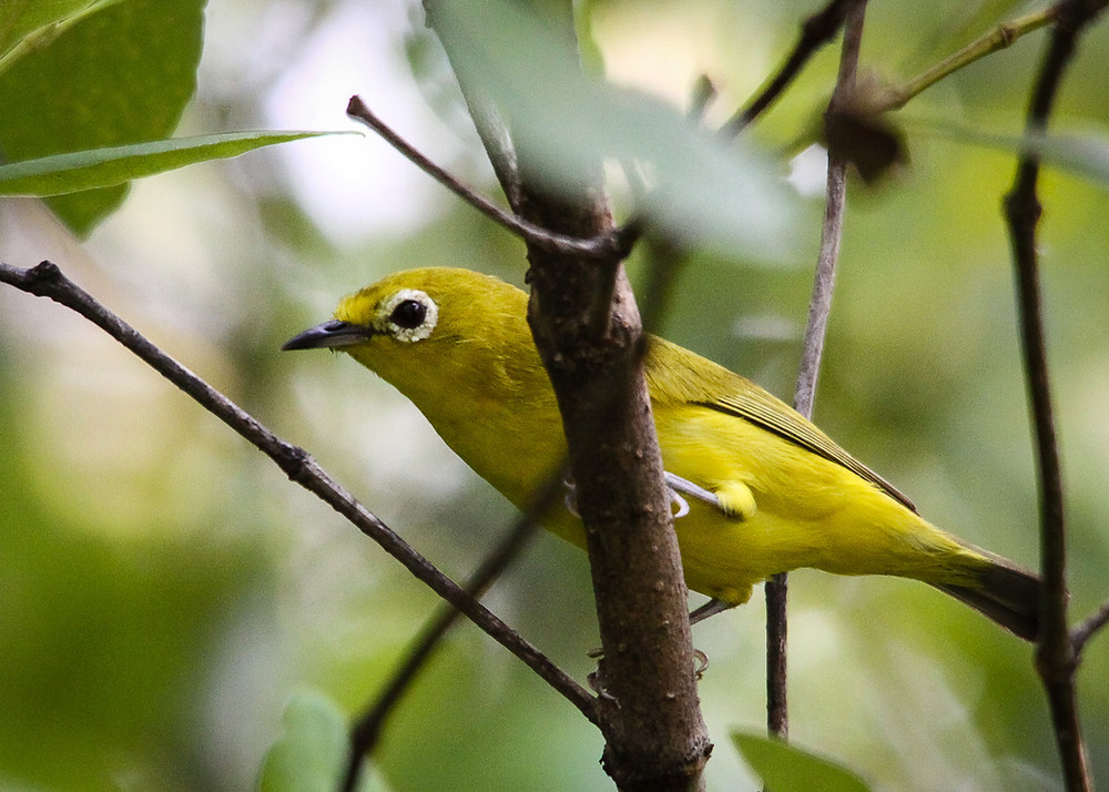 Javan White-eye, recently become rare and hard to find in this area
