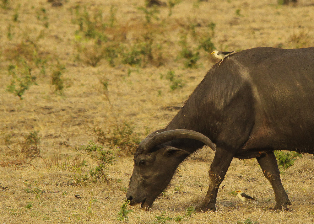 Black-winged Starling riding on Water Buffalo
