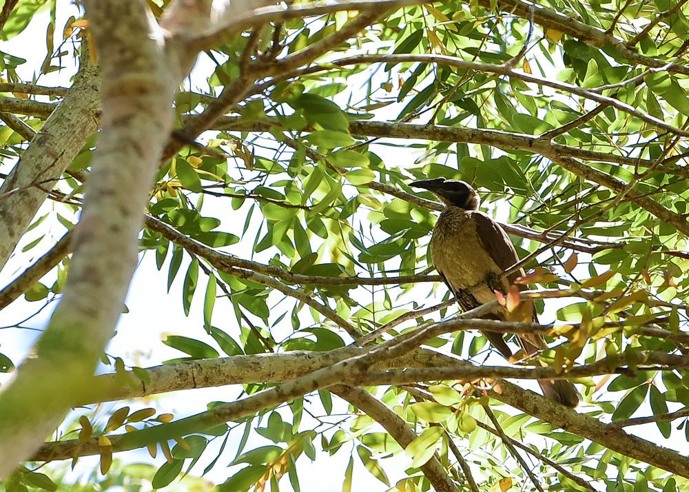 Helmeted Friarbird_Philemon buceroides_WEE