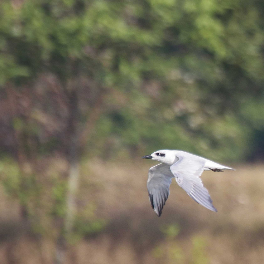 Gull-billed-Tern