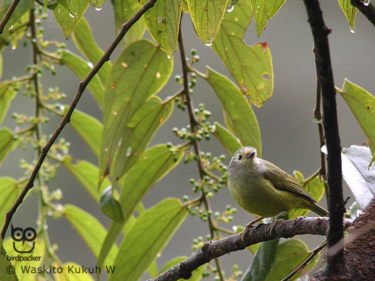 Mees's-White-eye
