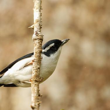 Pied Shrike-babbler