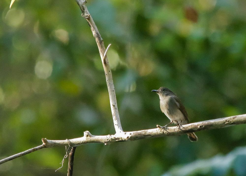 Sumba Jungle-flycatcher_Cyornis stresemanni_SWBP