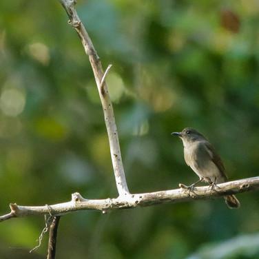 Sumba Jungle-flycatcher_Cyornis stresemanni_SWBP.jpg