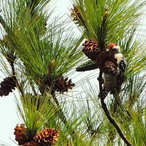 Freckle-breated Woodpecker