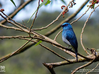 Duet Song of Indigo Flycatchers