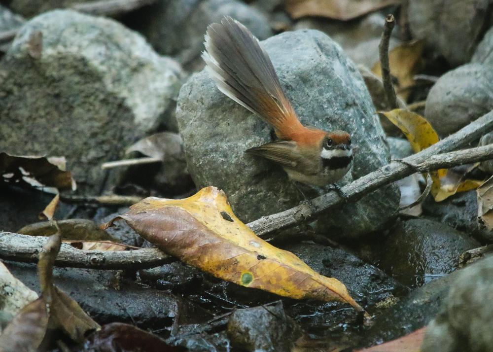 Arafura Fantail_Rhipidura dryas