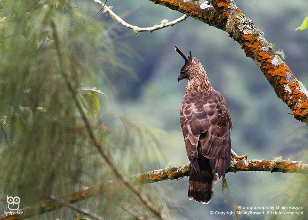Dorsal view of Javan Hawk-eagle