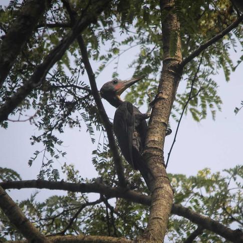 Great-slaty Woodpecker