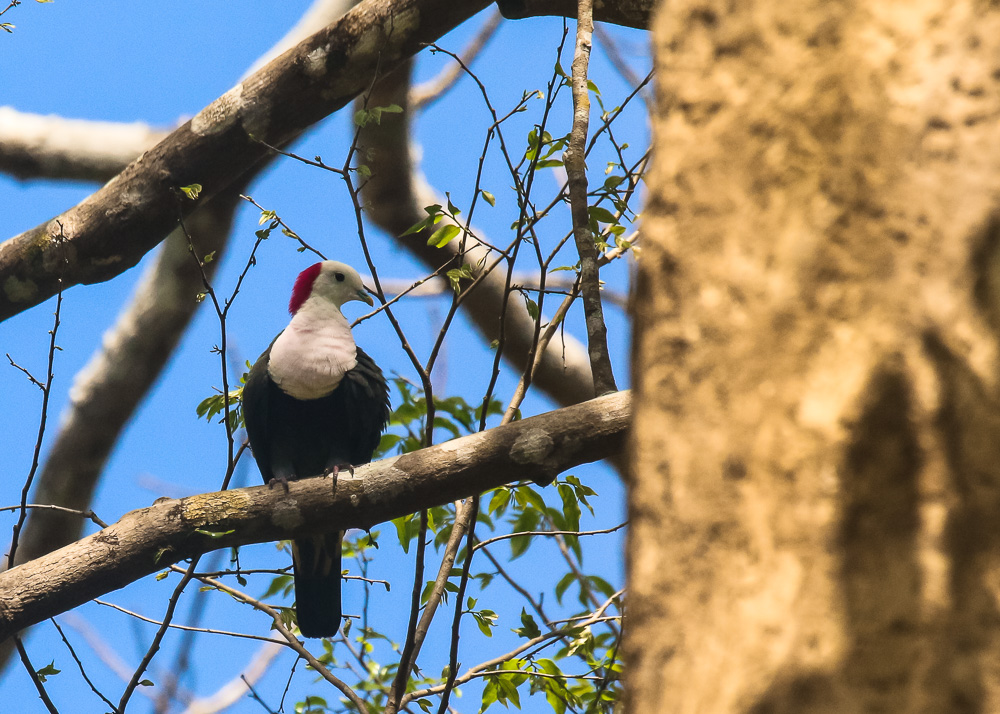 Red-naped Fruit-dove_Ptilinopus dohertyi_SWBP