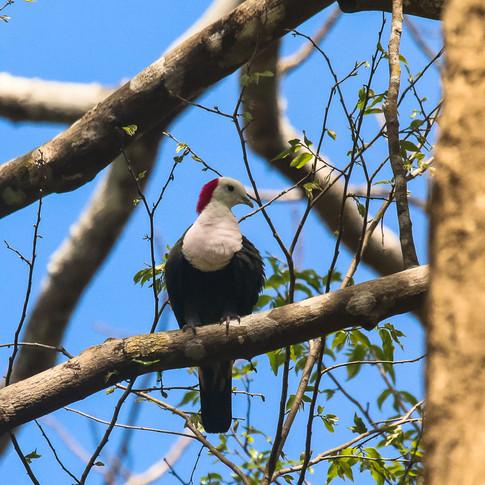 Red-naped Fruit-dove_Ptilinopus dohertyi_SWBP.jpg
