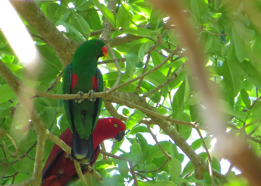 Eclectus Parrot_Eclectus roratus_NSB