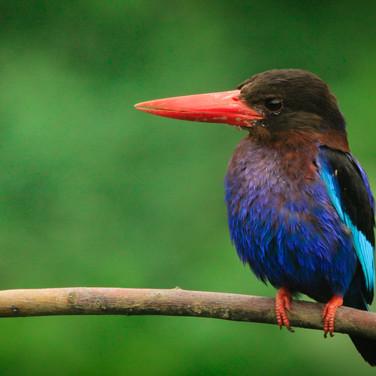 Frontal view of Javan Kingfisher