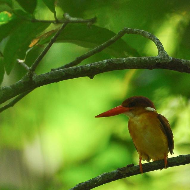 Oriental Dwarf-kingfisher