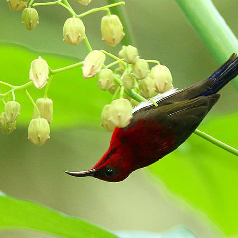 Javan Sunbird