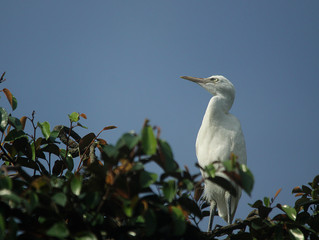 Thousands of Eastern Cattle Egrets on Ketingan