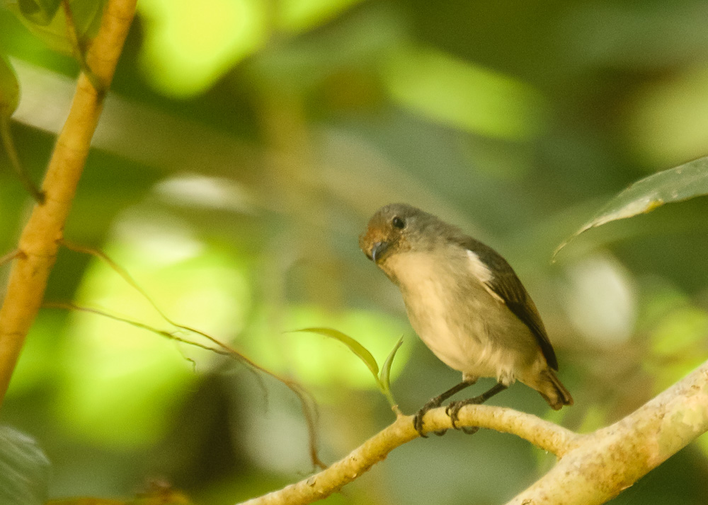 Female Sumba Flowerpecker_Dicaeum wilhelminae_SWBP
