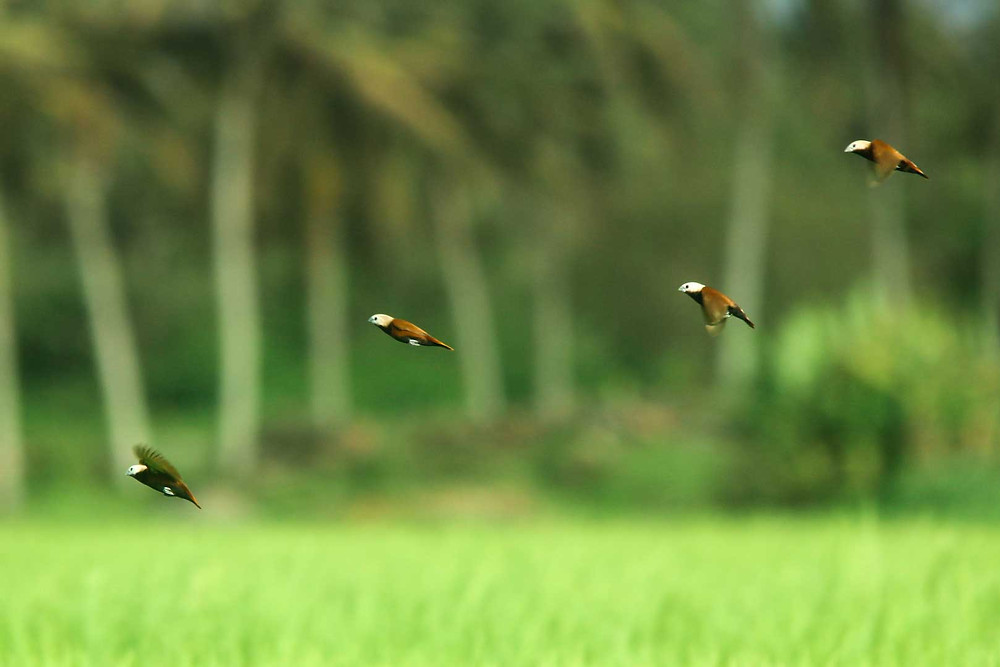 Four White-capped Munia in flight