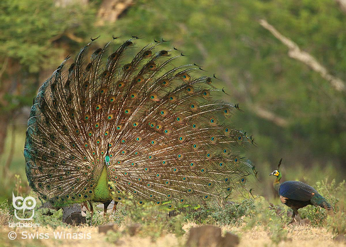 Green-Peafowl attraction