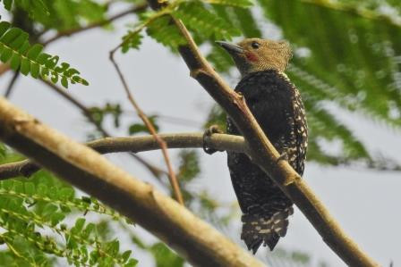 Adult male White-rumped Woodpecker in Meru Betiri NP, East Java