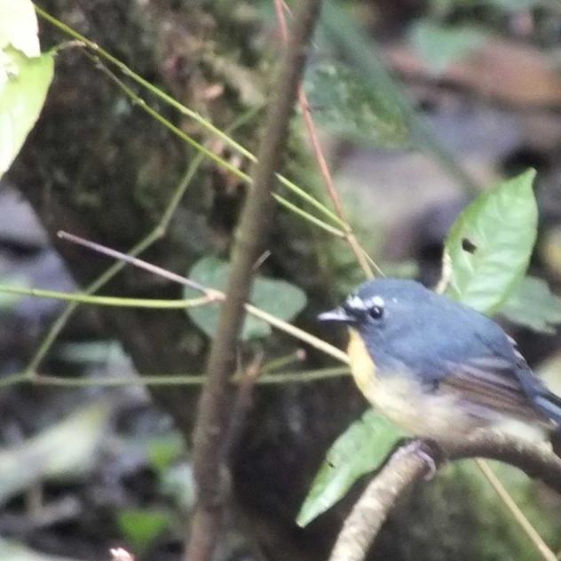 Snowy-browed-Flycatcher