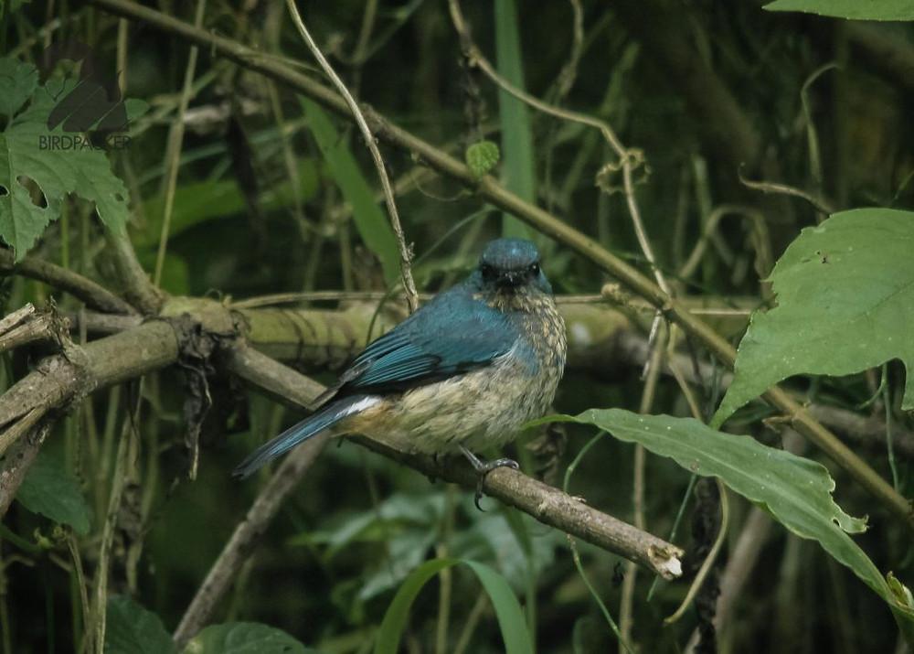 Juvenile Indigo Flycatcher on Raden Soeryo, Malang