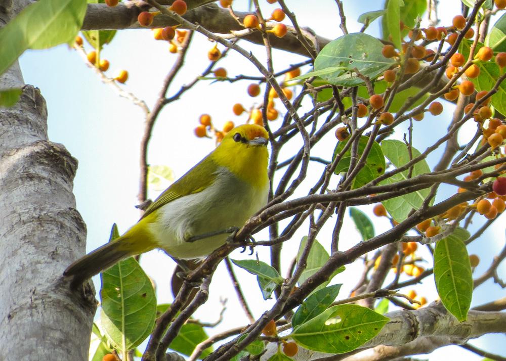 Yellow-spectacled White-eye_Heleia wallacei_NSB
