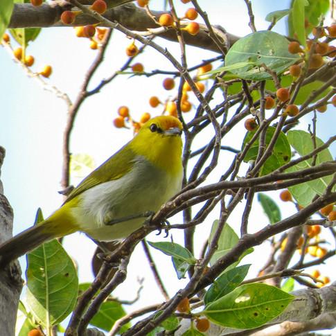 Yellow-spectacled White-eye_Heleia wallacei_NSB.jpg