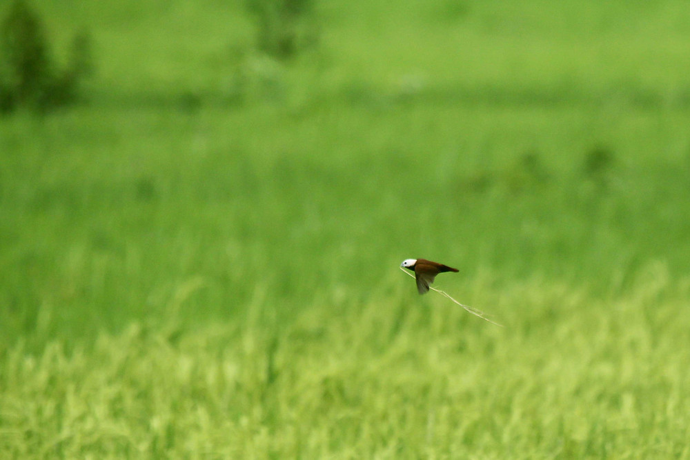 White-capped Munia carrying stems grass