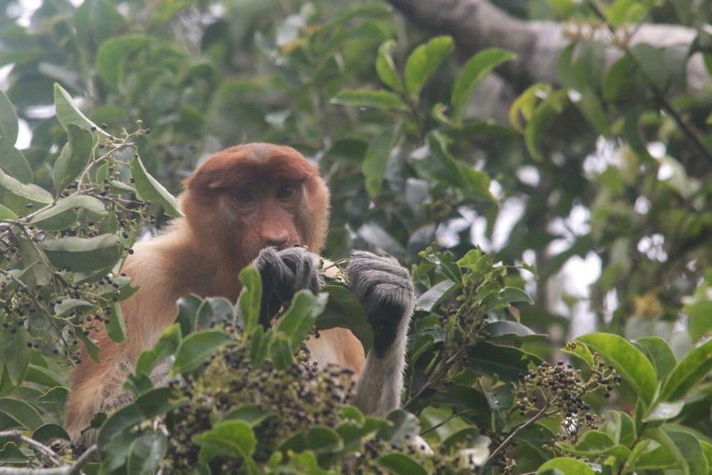 Proboscis Monkey foraging at edge of the Sekonyer River