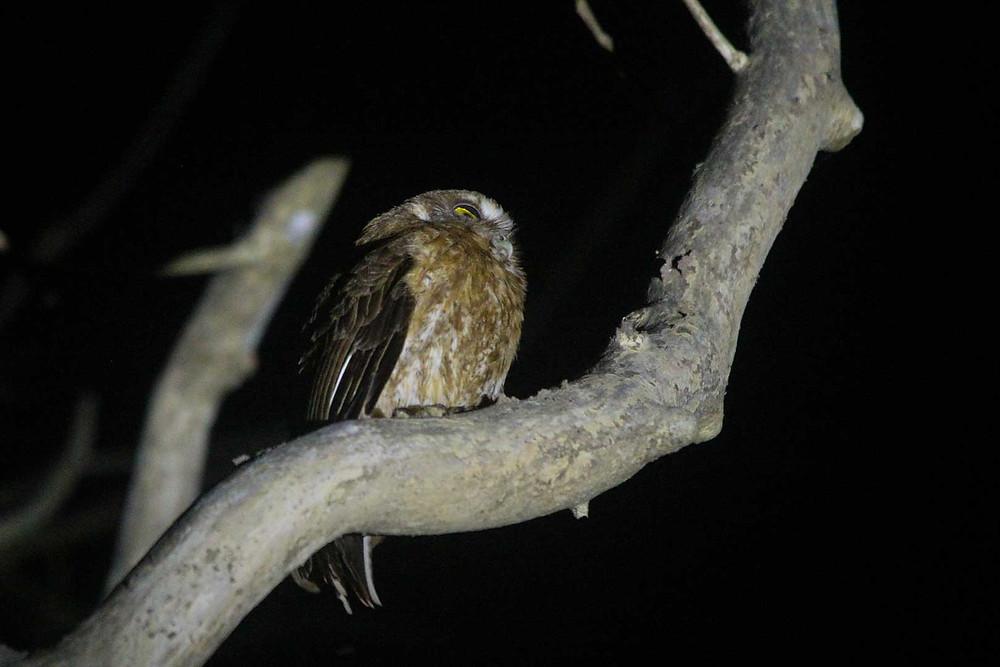 One of three nightbirds which good captured, Little Sumba Hawk-owl