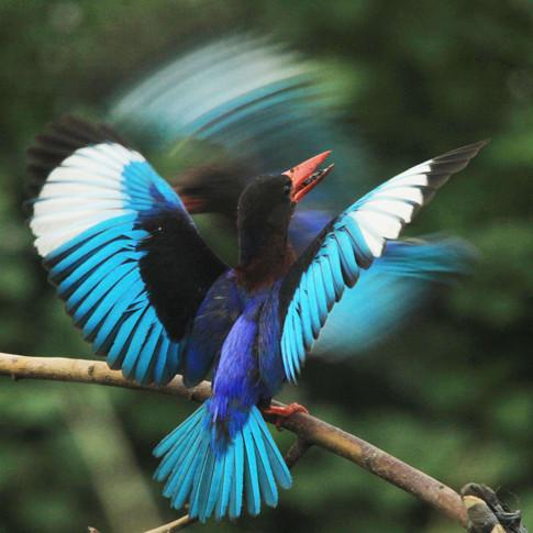 Javan Kingfisher