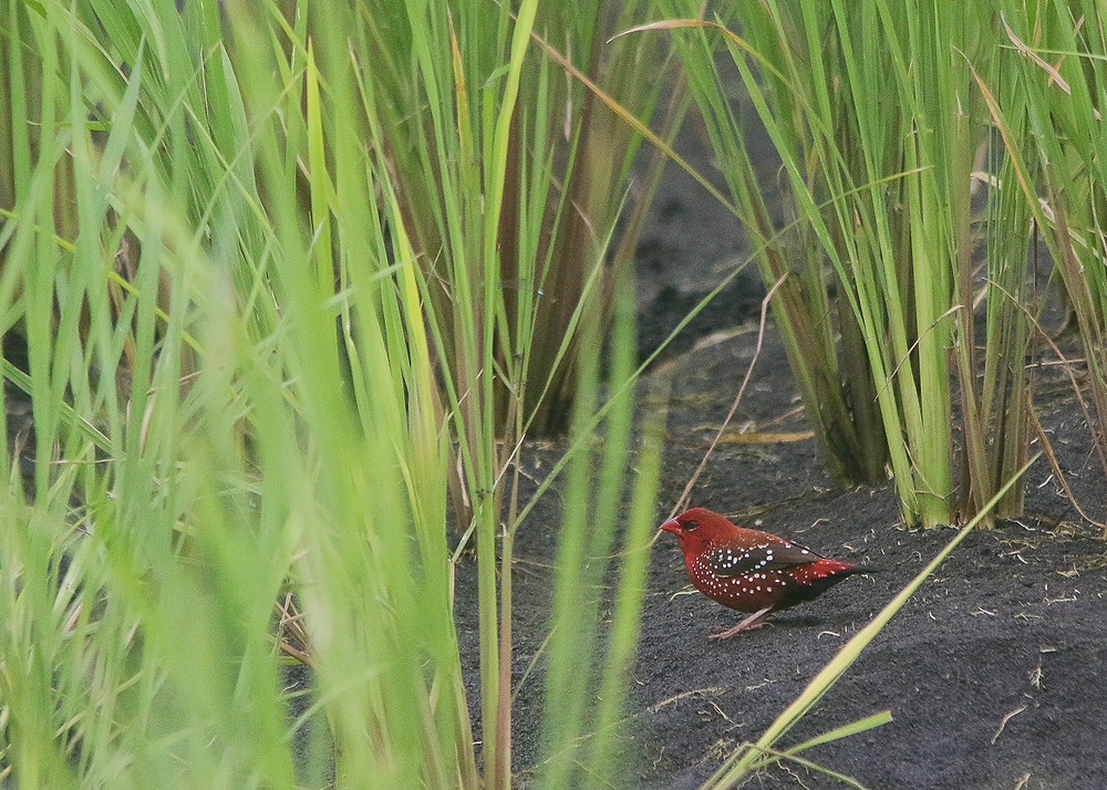 Ruby on the ground, Red Avadavat or Strawberry Finch