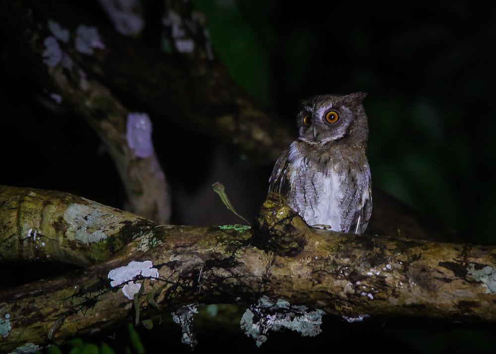 Juvenile Mollucan Scops Owl from Kaowa village, Bima, Sumbawa island