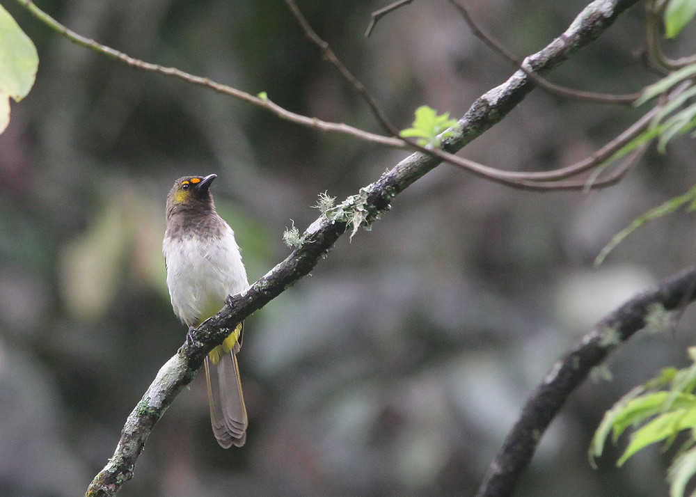 Indonesia montane endemic, Orange-spotted Bulbul