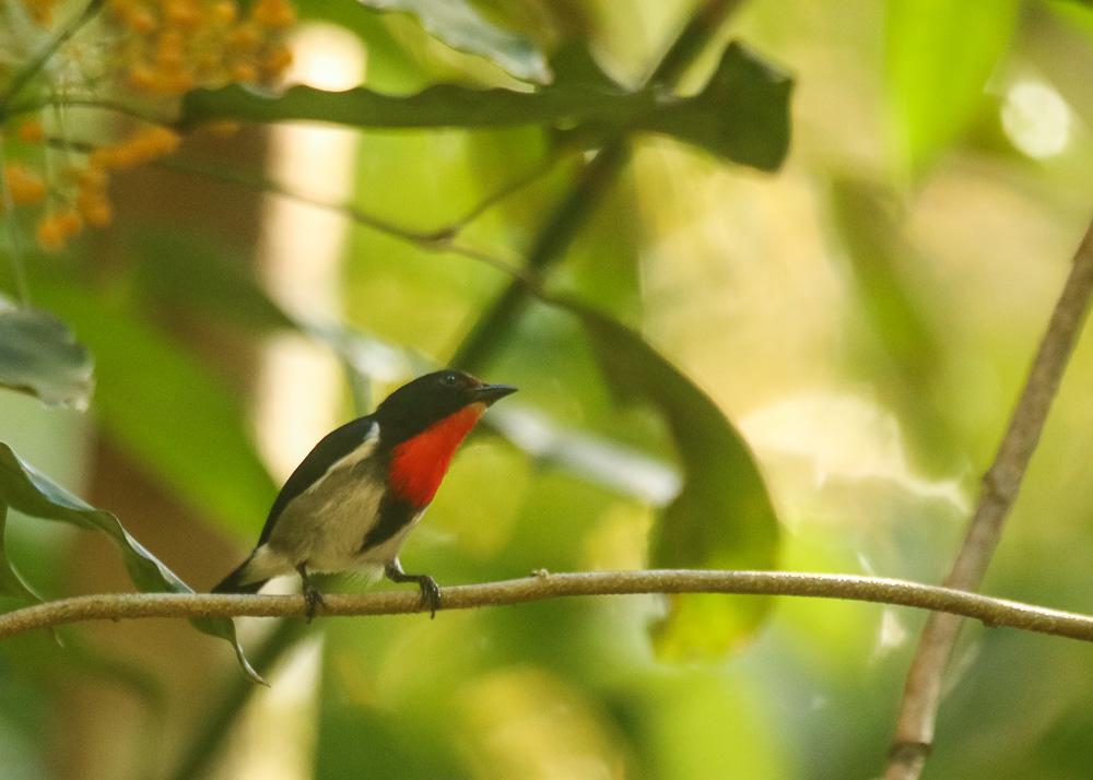 Sumba Flowerpecker_Dicaeum wilhelminae_SWBP