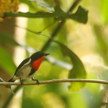Sumba Flowerpecker_Dicaeum wilhelminae_SWBP.jpg