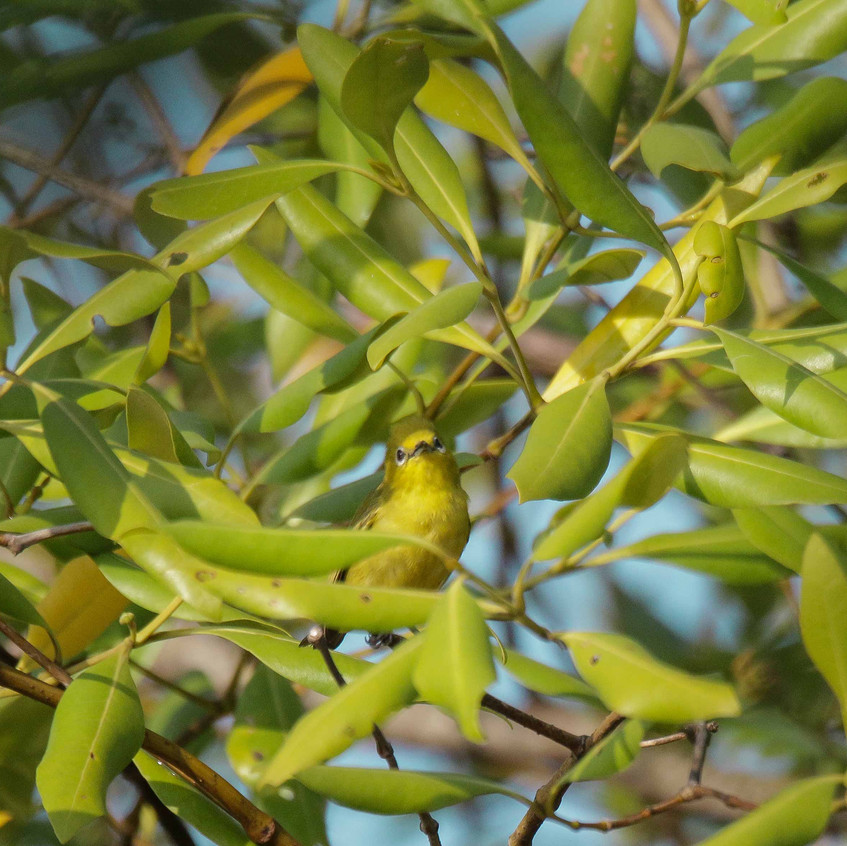 Javan-White-eye-foraging
