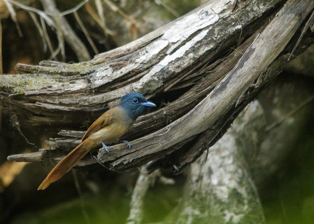Nusa Tenggara Paradise Flycatcher