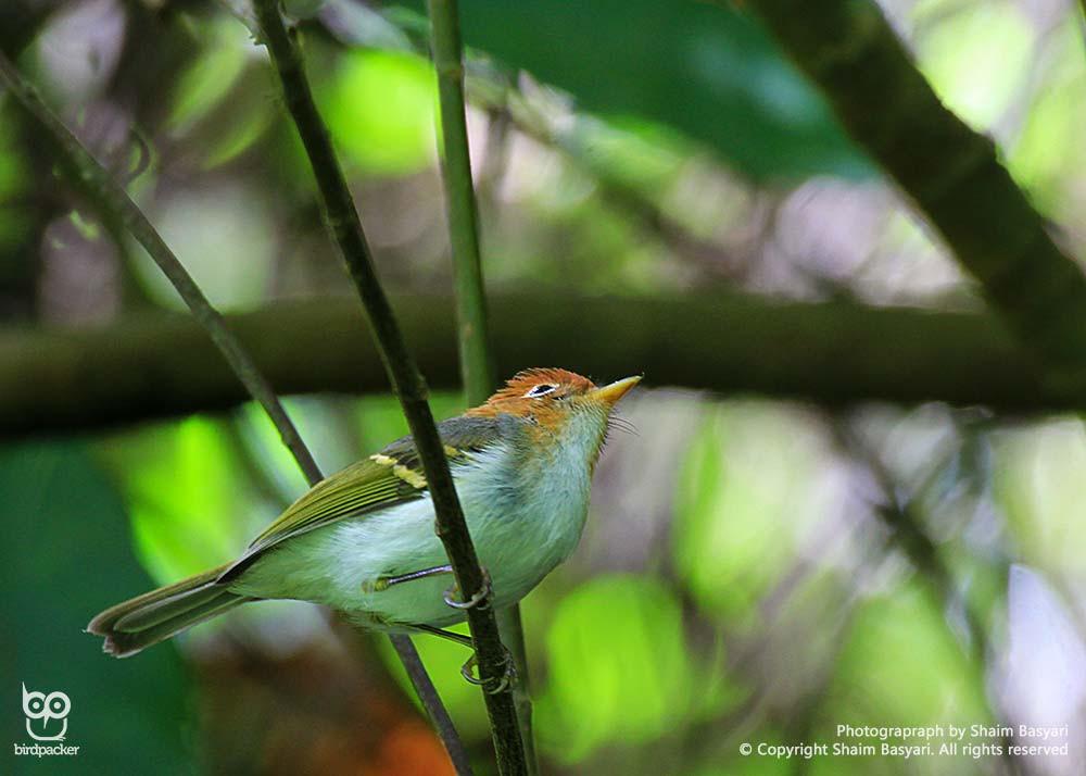 Tiny endemic bird, Sunda Warbler
