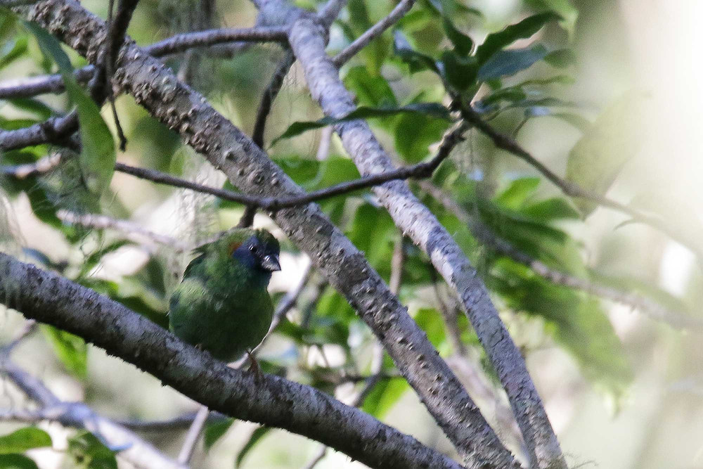 Adult female Mutis Parrotfinch encountered in second day near the same spot