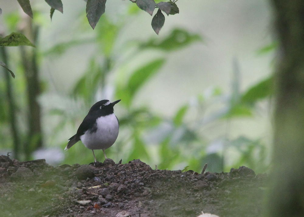 Record shot of Sunda Forktail, endemic to Indonesia.